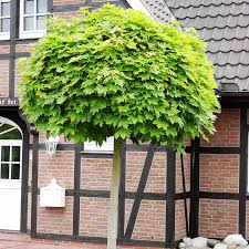 Acer platanoides Globosum Kuglasti javor