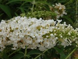 "Buddleja d. ""White Profusion"""