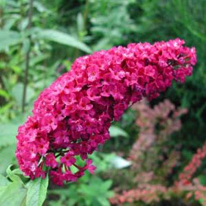 Buddleja d. Royal Red