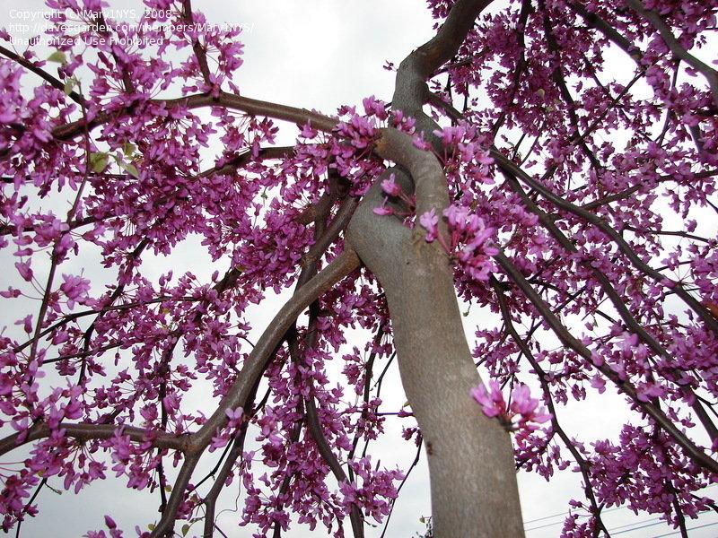 "Cercis canadensis ""Lavender twist"