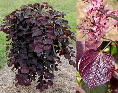 """Cercis canadensis """"Rubby Falls"""