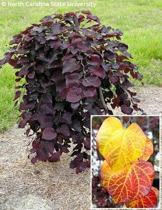 "Cercis canadensis ""Rubby Falls"
