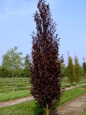 Fagus sylvatica Atropurpurea Fastigiata Stupolika crvenolisna bukva
