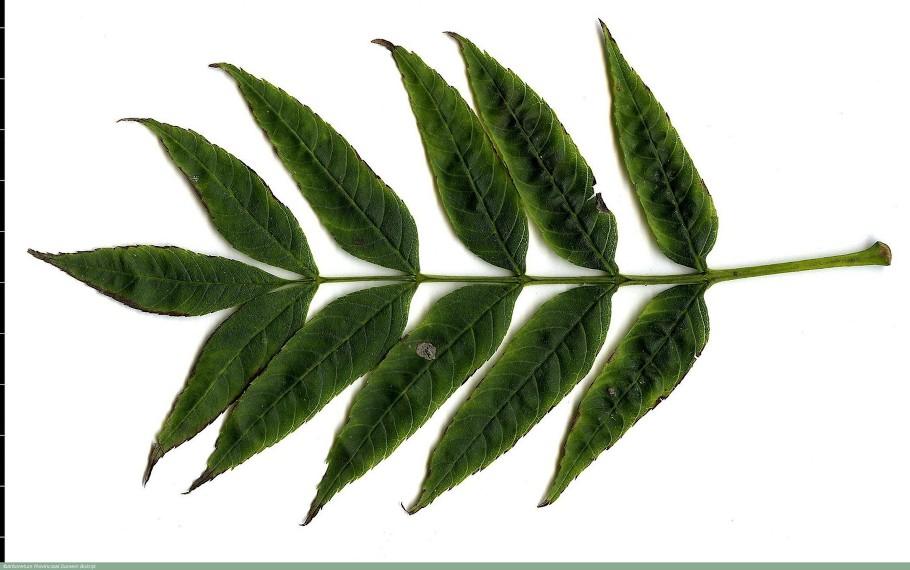 Fraxinus excelsior Globosa Kuglasti jasen