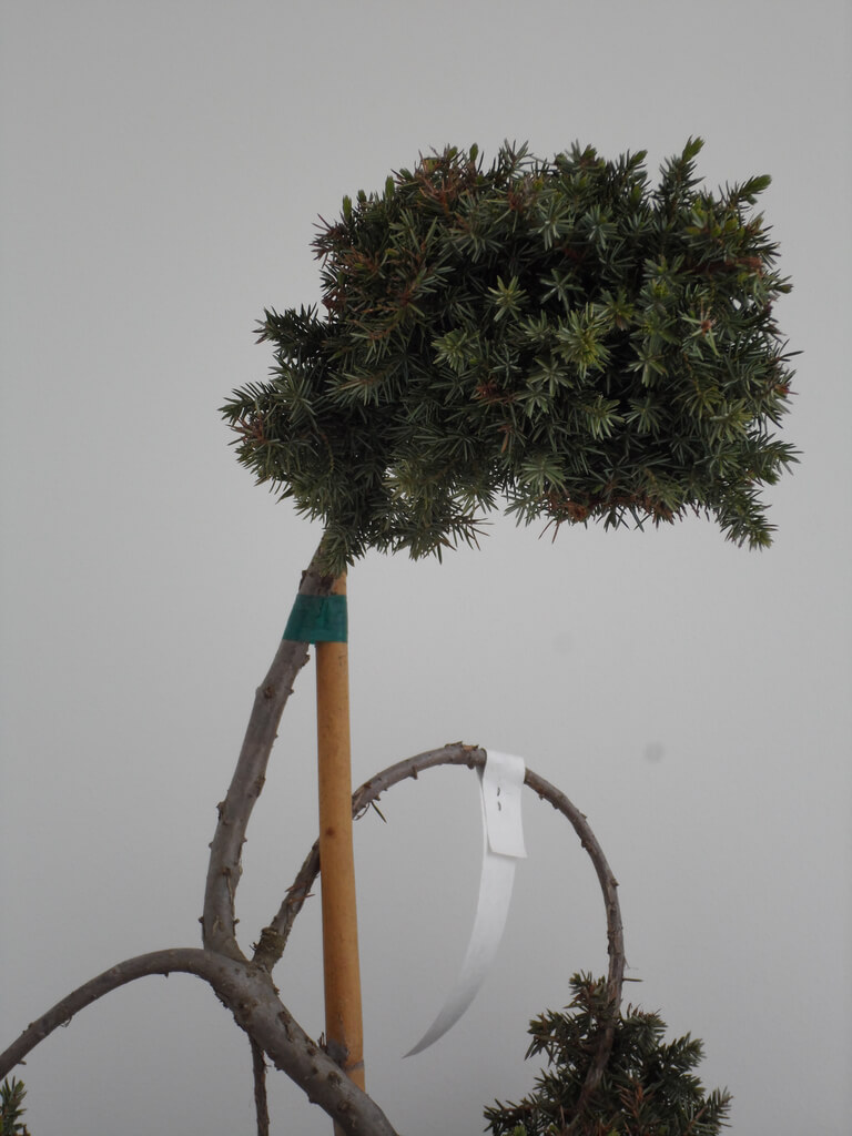 Juniperus Conferta Blue Pacific Bonsai