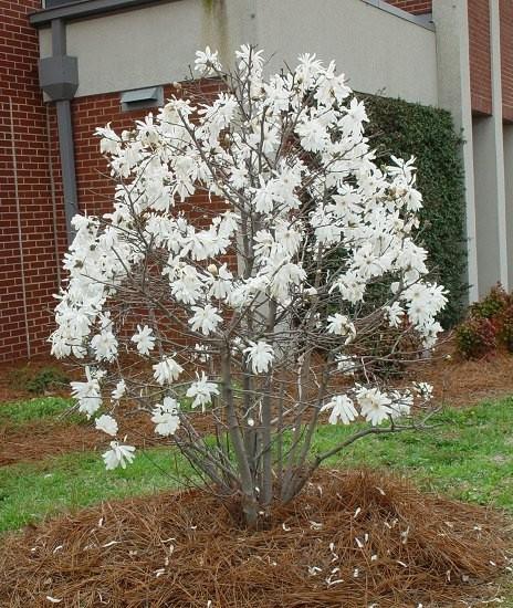 Magnolia stellata Zvjezdasta magnolija