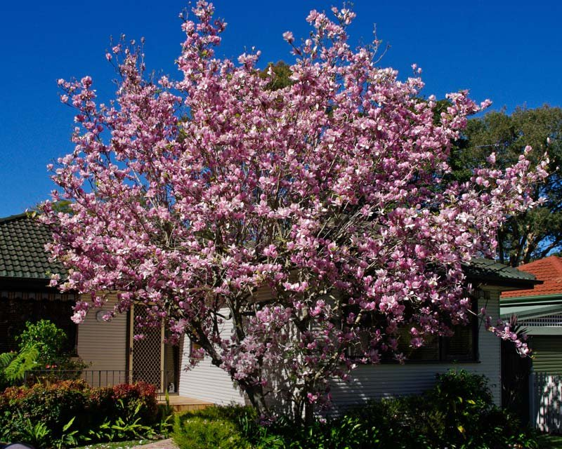 Magnolia x Soulangeana Magnolija