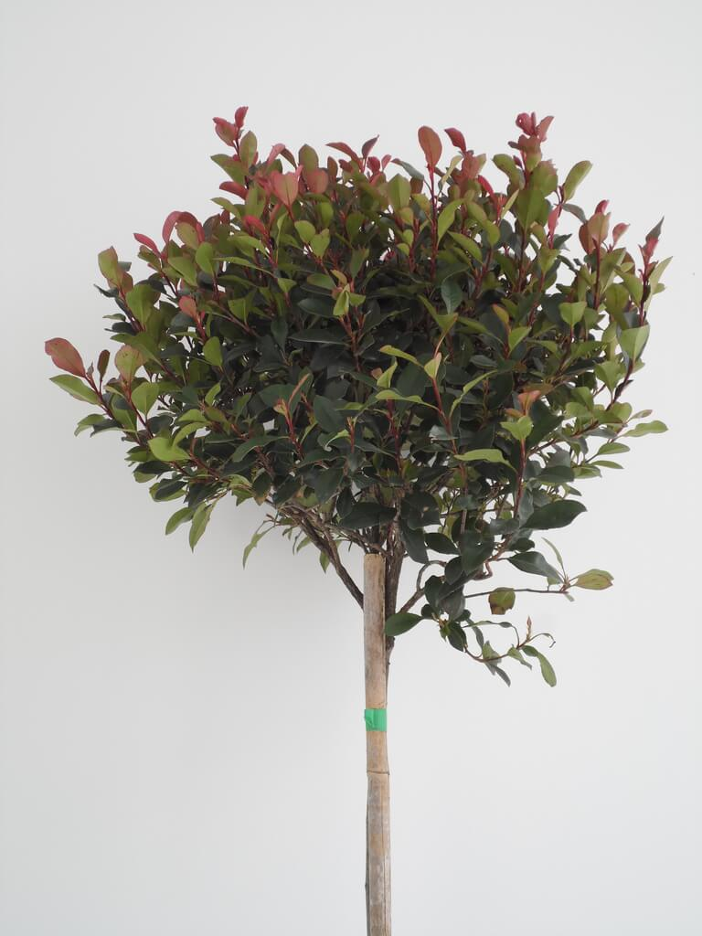 "Photinia fla ""Little Red Robin"""