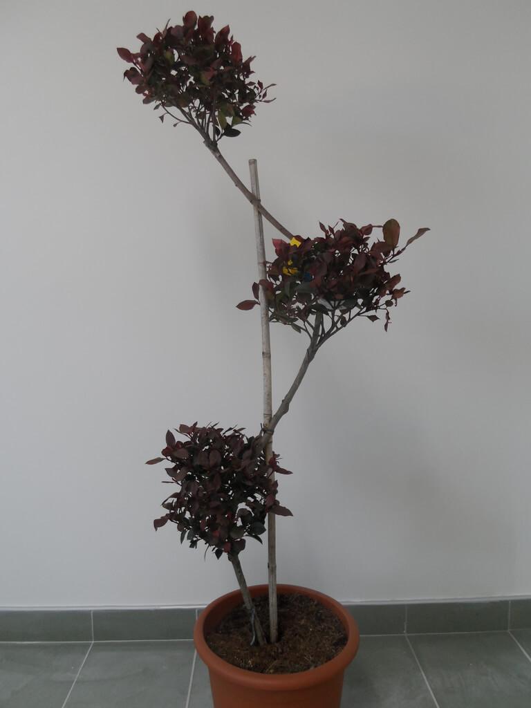Photinia fraseri Little Red Robin