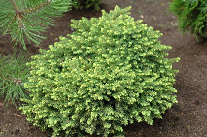 """Picea abies """"Little Gem"""""""
