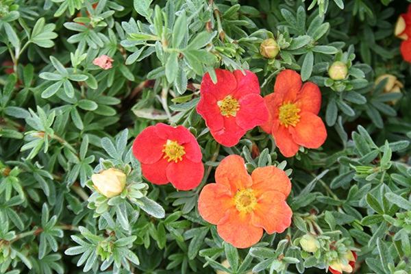 Potentilla fruticosa Marian Red Robin Petoprsta