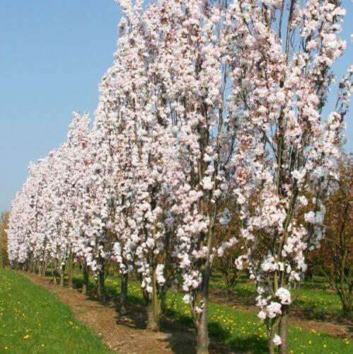 Prunus serrulata Amanogawa