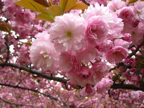 Prunus serrulata Kanzan Japanska trešnja s duplim svijetlo roza cvjetovima