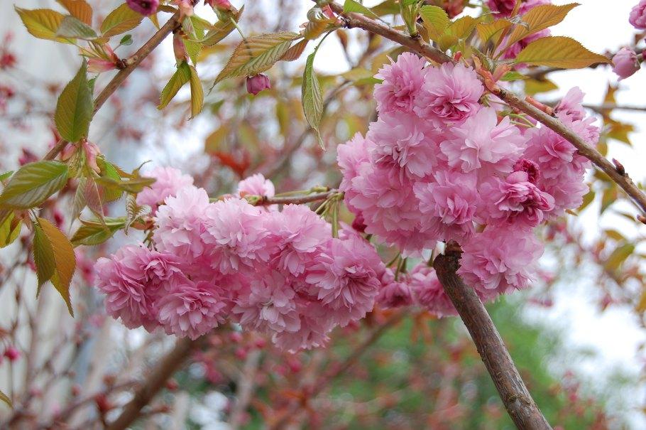 Prunus serrulata Kiku Shidare Zakura
