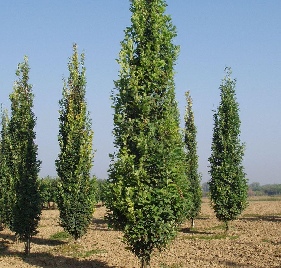 Quercus Robur fastigiata Stupoliki hrast