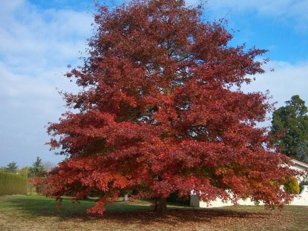 Quercus Rubra Američki crveni hrast