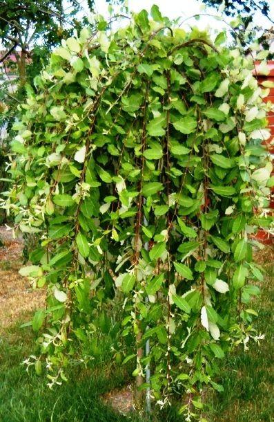 Salix Caprea Kilmarnock 120 cm stam (2)
