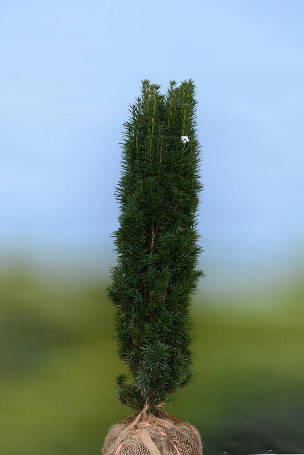 "Taxus baccata ""Fastigiata"" Stupolika tisa"