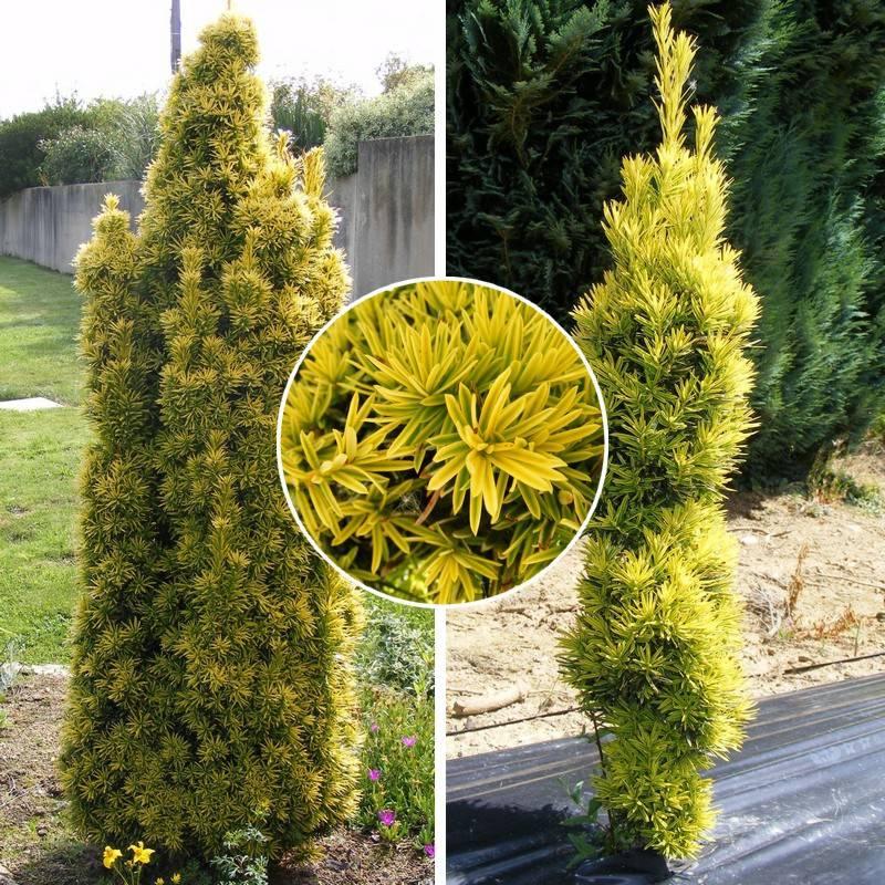 "Taxus baccata ""Fastigiata Aurea"""
